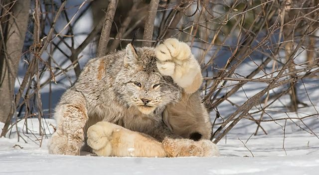 Canadian Lynx (15 shots) pay particular attention to the size of those paws...
