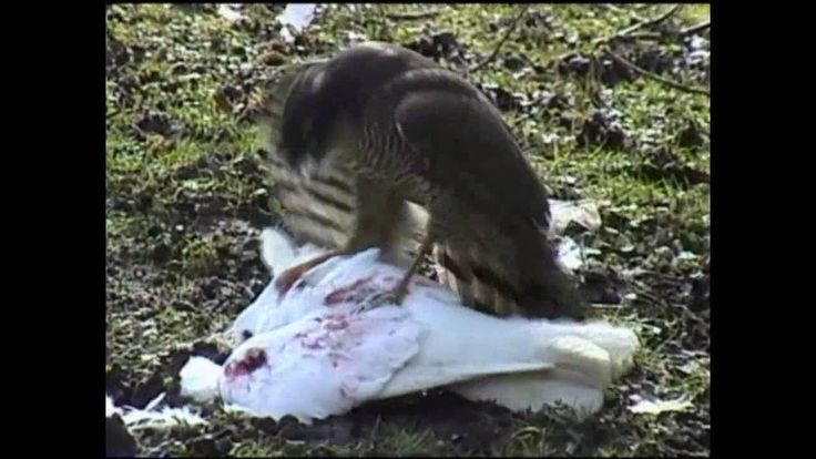 Sparrow Hawk eating Dove / Pigeon alive (Better quality)