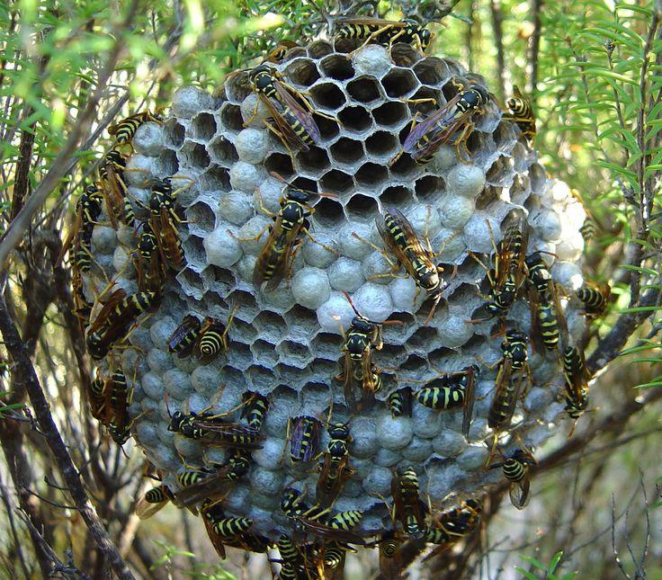 Wasps & Nest Wasp nest, Get rid of wasps, Wasp