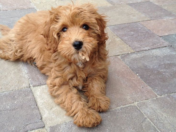 Images For > Cavapoochon So Cute! Pinterest Dogs
