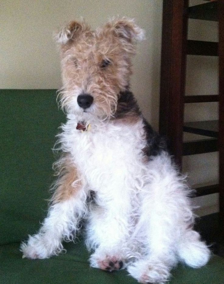 Lovely Dimarzio Pickup Wiring Tall Bulldog Remote Start Installation Round Dimarzio Ep1112 Schematic For Solar Panel System Youthful Solar Panel Wiring Guide WhiteSolar System Circuit Diagram 1529 Best I Love Wire Fox Terriers Images On Pinterest   Schnauzer ..