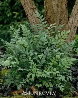 Fortune's Holly Fern | Exceptional fern for interesting form and texture. Fronds are stiff, upright and dark green arching outward from the center of the plant. Fast-growing; 1'-2' tall and 1.5'-2' wide. Full to partial shade.
