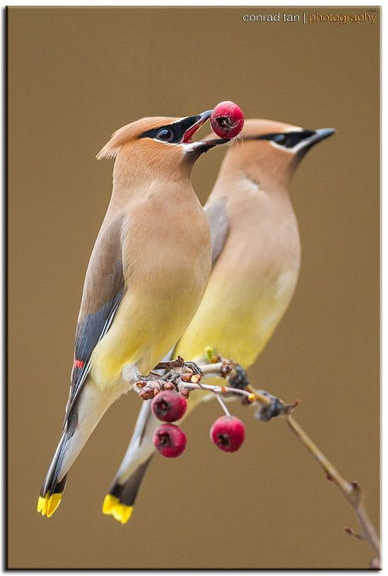 Cedar Waxwings by wildlife and bird photographer Conrad Tan on 500px.