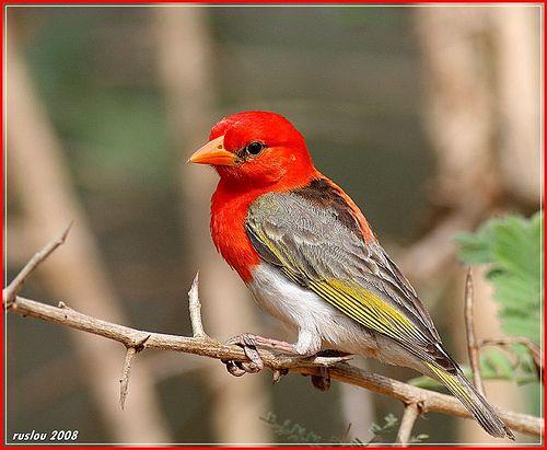 De scharlaken wever (Anaplectes rubriceps (synoniem: Anaplectes melanotis) is een zangvogel uit de familie Ploceidae (wevers en verwanten).