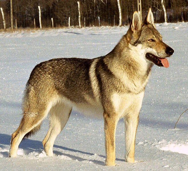 O Cão Lobo Checoslovaco é uma raça  relativamente nova de cães  que contém traços da sua linhagem original de uma experiência conduzida em ...
