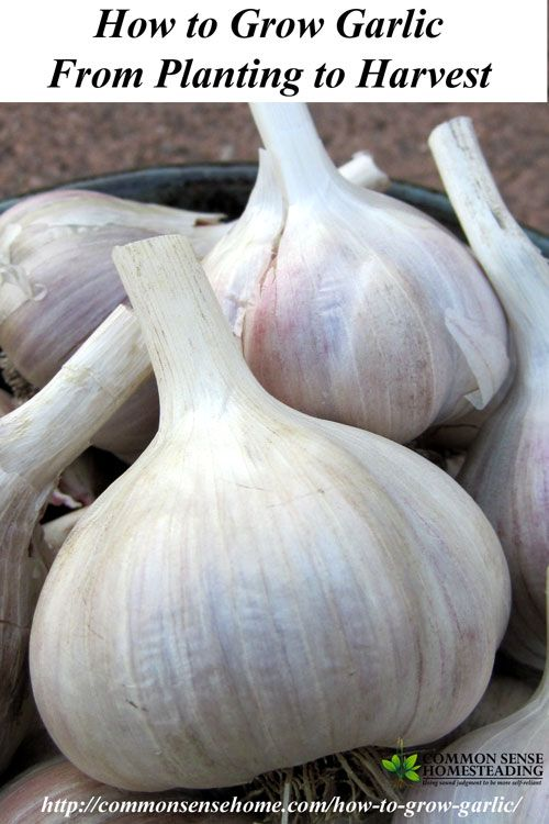 How to Grow Garlic. Where do I Get Garlic to Plant in My Garden? Different Types of Garlic. How to Plant Garlic. How and When to Harvest…