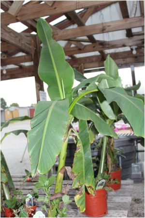 How to Grow and Care for a Banana Tree