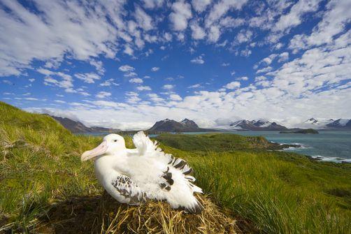 Wandering albatross sitting on nestWandering Albatross Nest