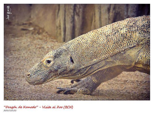 Dragón de Komodo | por josé gracia gonzález