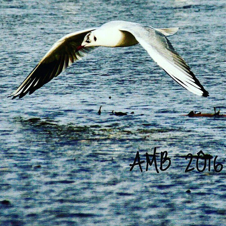 Vole d'une mouette au-dessus de la mer d'iroise...