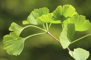 Ginkgo Biloba for Tinnitus and Inner Ear Disorders