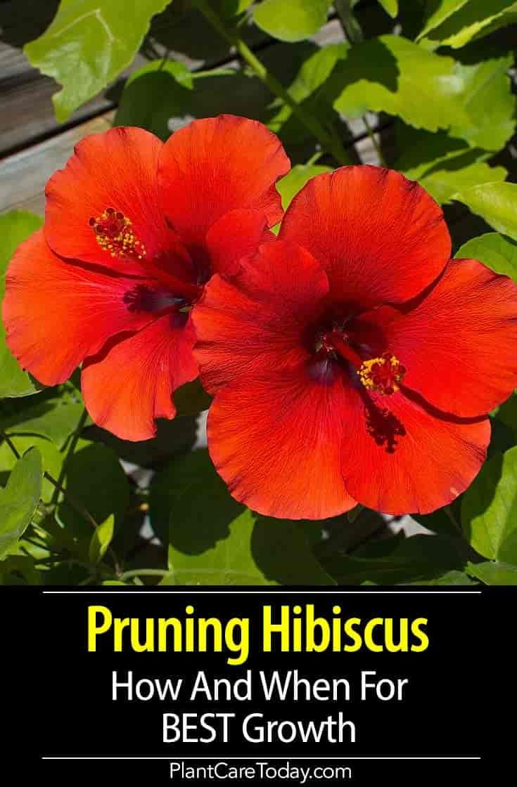 Pruning Hibiscus How And When To Prune Hibiscus For Best Growth