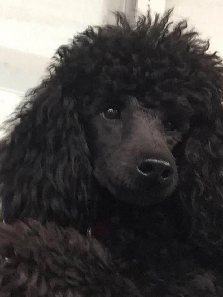 Pin By Barbara Wade On Furbabies Dog Breeds Poodle Poodle Grooming