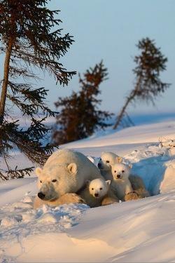 Mama polar bear & babies