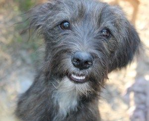 Scruffy is an adoptable Wire Fox Terrier Dog in Andover, MA. **Please read Scruffy's entire profile, which includes a link to the adoption application. Thank you!** Scruffy is an 8 month old mix breed...