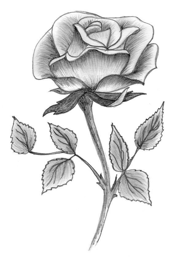 Рисунки роз карандашом в картинках