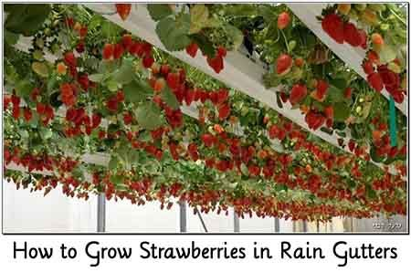 Growing Strawberries In A Rain Guttter Articles Of