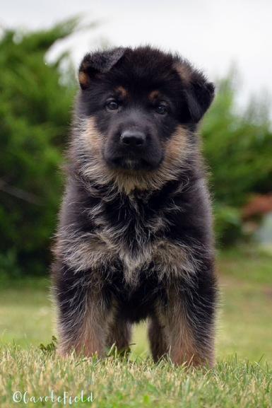 German Shepherd puppies for sale at Cher Car Kennels #germanshepherd