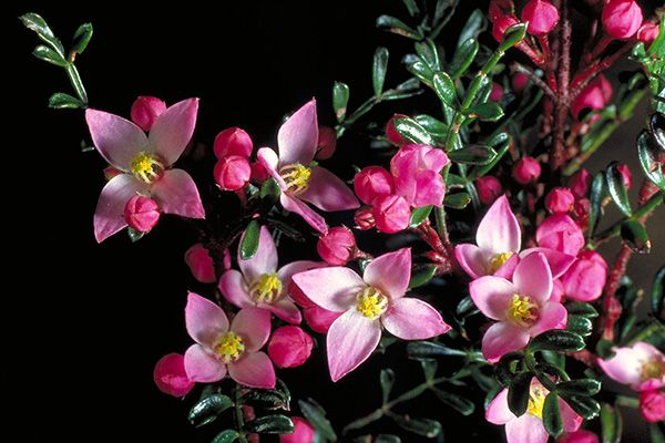 Boronia microphylla  Up to 1m in a sheltered, well draining, moist soil
