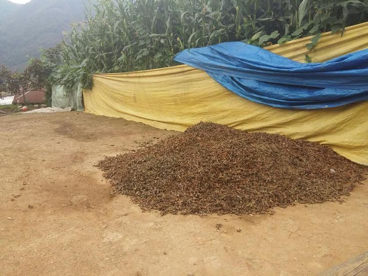 Giresun ve yöresinde başlayan fındık hasadı üreticinin beklentilerini karşılamadı. Girilen bahçelerde geçen yıllara…