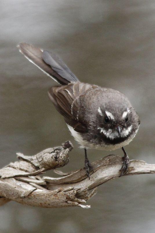 Grey Fantail at Ocean Grove Nature Reserve, Victoria, Australia