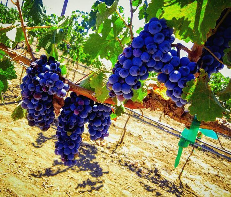 El racimo que corta el viñador. Viñedos en el Valle de Guadalupe en Ensenada B.C.  #uvas #vino #racimo #viñedos #morado #vid #wine #grapes #wineyard #valledeguadalupe #ensenada #vinomexicano #trip #instaartista #instapic #igersmexico #mexico_maravilloso