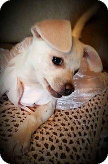 Denver, CO - Chihuahua. Meet Elsa, a puppy for adoption. http://www.adoptapet.com/pet/16664906-denver-colorado-chihuahua
