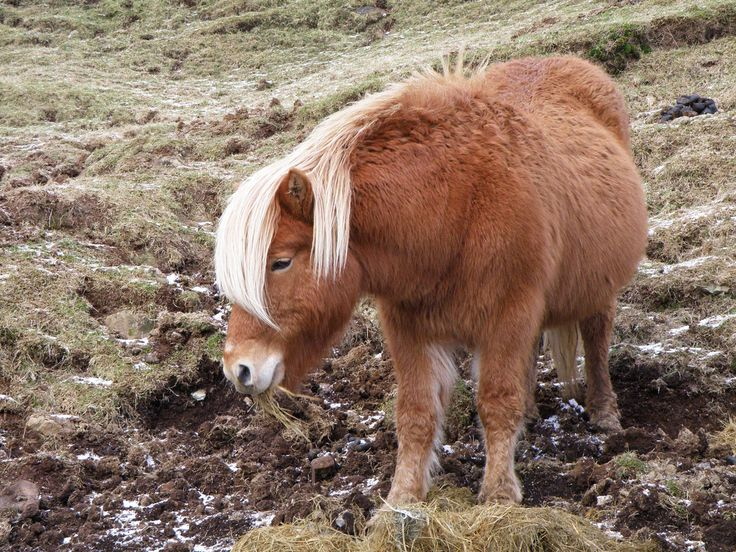 This is a male Faroe pony from the island Sandoy, which right now is situated in another island, Suduroy, in order to breed with female ponies from Suduroy. This pony is called Ljósið, which is the Faroese word for Light.  There are only 53 Faroese ponies today (2010).