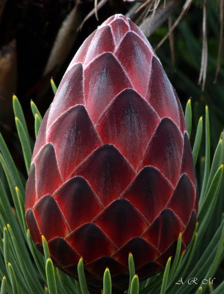 Red Hot Protea - Maui, Hawaii | 相片擁有者 Barra1man (Back and Catching Up)
