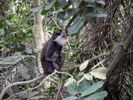 A twenty-year effort to protect and manage tiny remnants of a dilapidated forest in Benin, along with its agricultural and fallow vegetation surroundings, resulted in 14 ha of rich secondary forest, which corresponds to the size of nearly 20 sacred groves. This sanctuary now protects the critically endangered red-bellied monkey together with 52 endangered plant species.