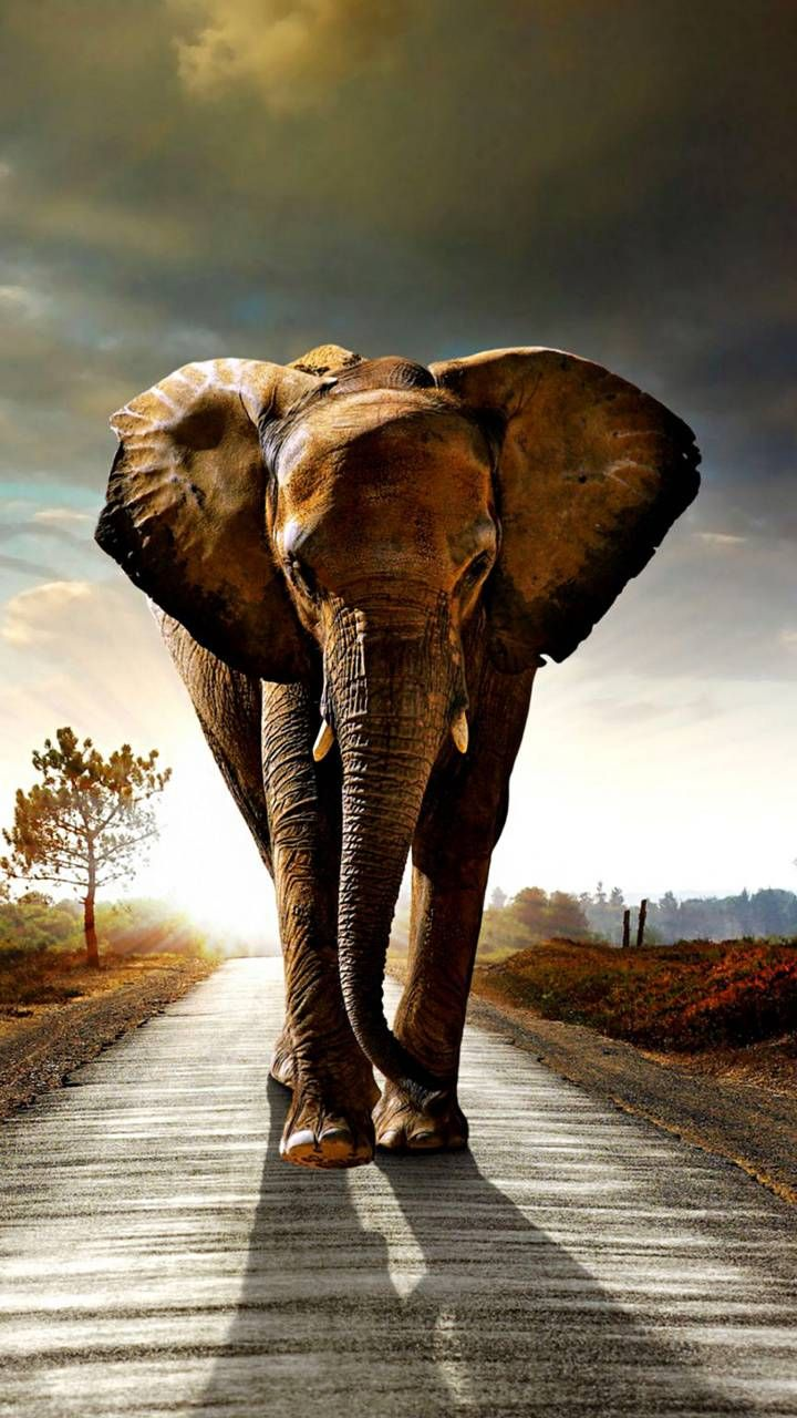 Apple Logo Wallpapers Hd Cool Backgrounds Elephant Wallpaper Elephant Background Animals