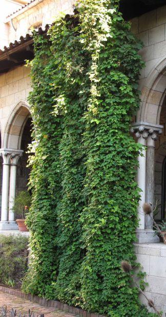 Top 25 best fast growing vines ideas on pinterest for Hops garden designs