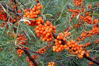 Sea - buckthorn berry, arctic berries   -Tyrni. A very healthy berry!