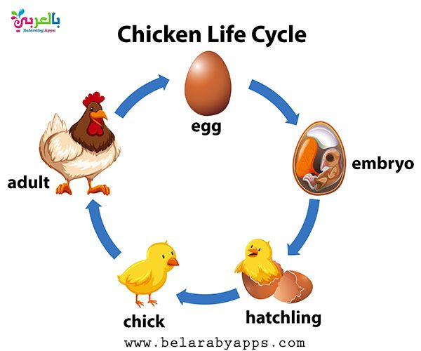 Animal Life Cycle Diagram Science Posters For Kids Belarabyapps Animal Life Cycles Life Cycles Cycle For Kids