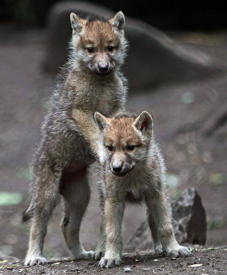 25+ best ideas about Wolf pup on Pinterest | Wolves in ...