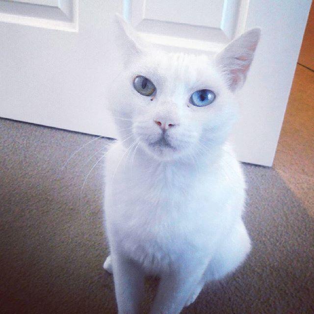 Look into my eyes...I'm the captain now!  #catstagram #kittyspam #whitecat #bowieeyes #ziggystardust #heterochromia #rescuecat #catprotectionsociety #adoptdontshop #catsofmelbourne #catsofinstagram #crazycatlady