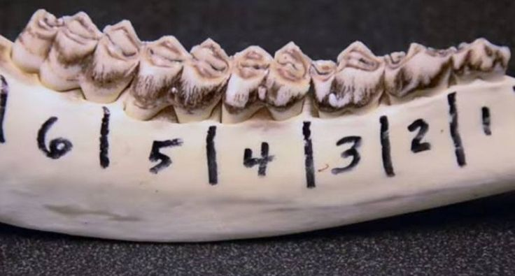 Do you know how to age a whitetail deer? Learn the tooth replacement and wear technique and you'll be able to expertly age a deer after you harvest it.