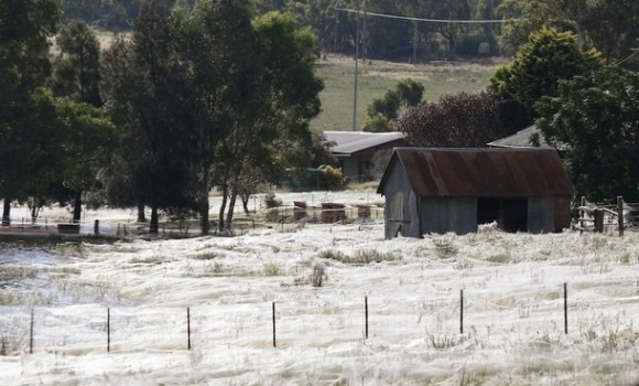 that's not snow... it's spider websSpider Webs, Wagga Wagga, Flood, Spiderweb, Snow, Australia, Wolf Spiders, Fields, Spiders Web