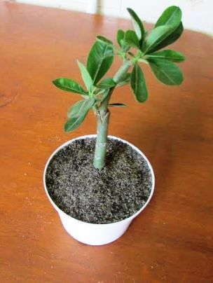 Planta enxertada de Adenium. Foto de Sinval.