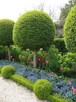The Boxwood meets Geometry in Spring. L'orangerie, Parc de Sceaux (Hauts-de-Seine), in France. Flower beds consist of Forget-Me-Nots, Pansies, Euphorbia, and Tulips, surrounded by finely clipped Boxwoods. Garden design by André Le Nôtre, best known for his designs for Louis XIV, Palace Versailles (1600's).
