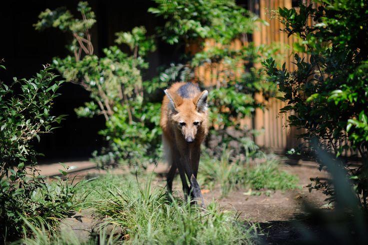 タテガミオオカミ : 動物園へ行こう