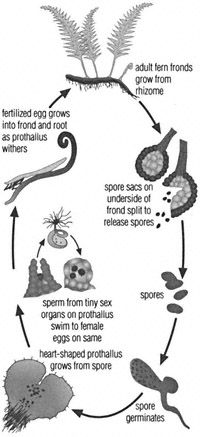fern The life cycle of a fern. Ferns have two distinct forms that alternate during their life cycle. For the main–sporophyte–part of its life, a fern consists of a short stem (or rhizome) from which roots and leaves grow. The other part of its life is spent as a  small heart- shaped plant called a prothallus.