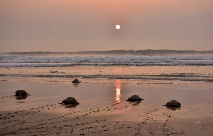Die Schildkröten schwimmen um die ganze Welt. Forscher konnten bisher keine...