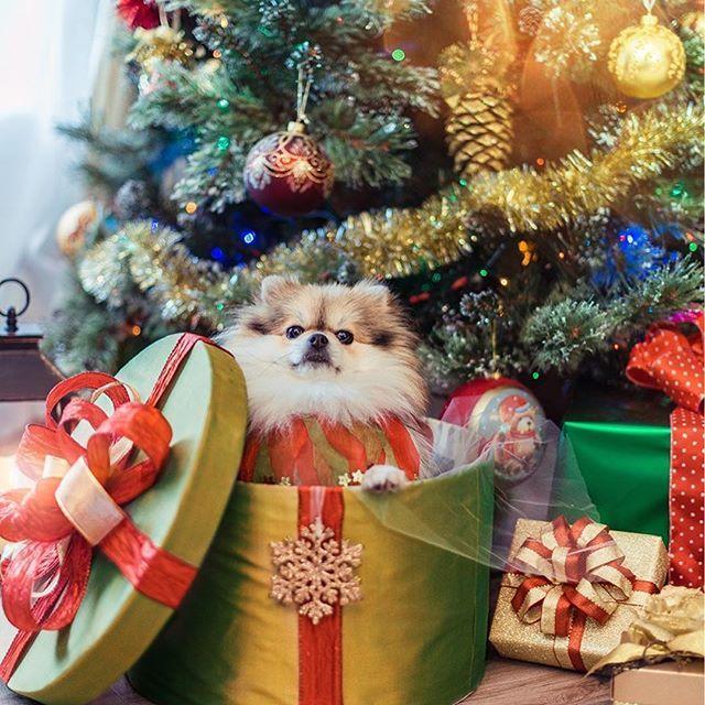 ⠀⠀⠀⠀⠀⠀⠀ ⠀ ⠀⠀ Christmas !!! 🎄🎄🎄 I'm waiting you!!! ✨ ⠀⠀ 🇷🇺 Новый год!!! 🎄🎄🎄 Я с таким нетерпением тебя жду!! ✨✨✨ Приходи поскорей!!! 💕 ⠀ 🇫🇷 Noel!!! 🎄🎄🎄 Je t'attends avec une grande impatience !!! ✨✨✨ Viens vite!! 💕 ⠀ Follow our adventure 🎄 Thank you for comments & likes ☃️ #pom #pompom #pomeranian  #instapom #mydearpom #spitznain #spitzclub #instapom #louloudepimeranie #luludapomerania #lovemypom #bestfriends_dogs #pomeranianloverpost #thedailypompom #igpoms #pommylovers…