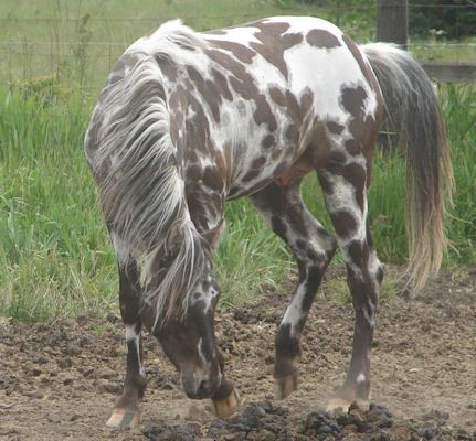 Drea Eaglefire Sundy; Appaloosa stallion; brown leopard