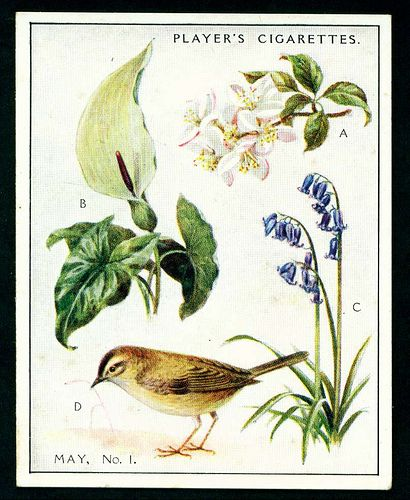 """Player's Cigarettes  """"A Nature Calendar"""" (series of 24 large cards issued in 1930) #9 May (1)"""