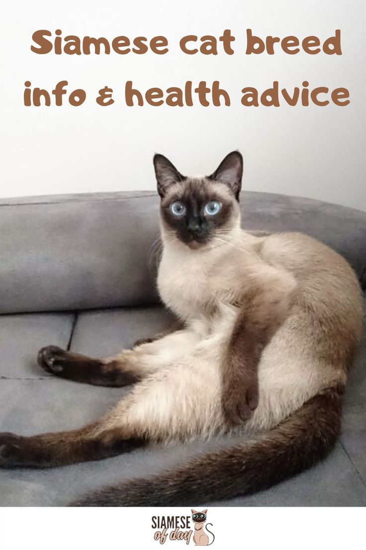 Siamese Cat S Common Medical Disorders Siameseofday In 2020 Siamese Kittens Siamese Cats Cats