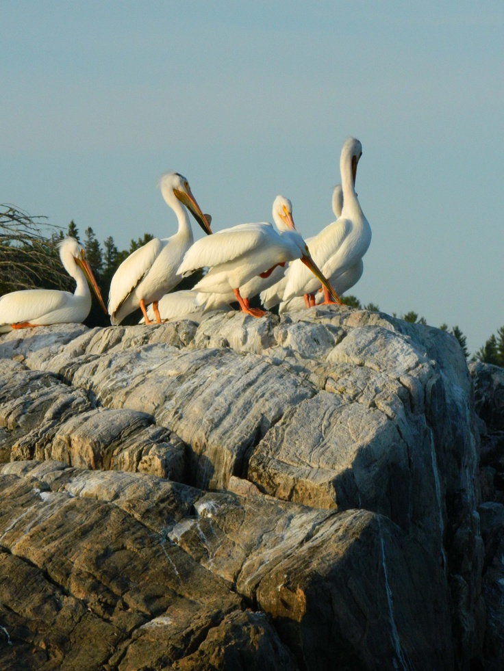 Pelicans on the Winnipeg River, Kenora, Ontario, Canada
