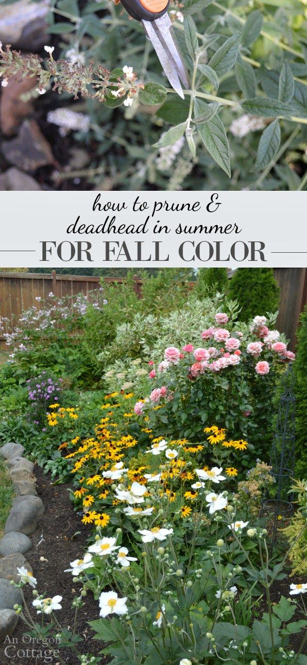 How to prune and deadhead shrubs & perennials in summer for Fall color - a little time spent pruning in summer will keep them blooming through the fall.