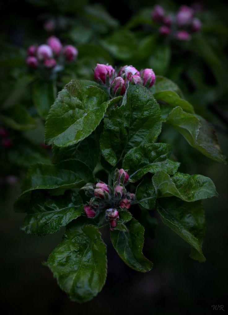 Epleblomstring i regn